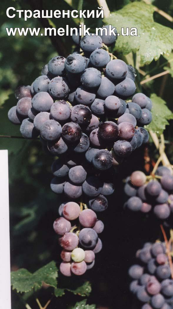 Виноград страшенский  описание
